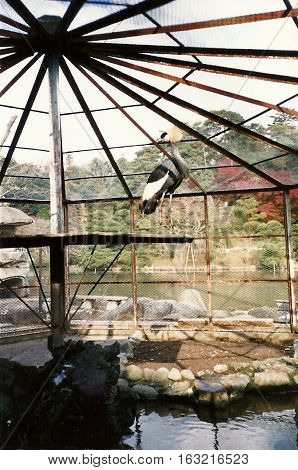 A grey crowned crane (Balearica regulorum) stands in an aviary in the Narita-san Shinshō-ji Shingon Buddhist temple in Narita, Japan, during November, 1987.