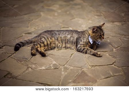 gray cat in bow tie cat attire preparing for the wedding unusual wedding guest