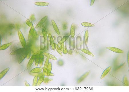 Euglena is a genus of single-celled flagellate Eukaryotes.