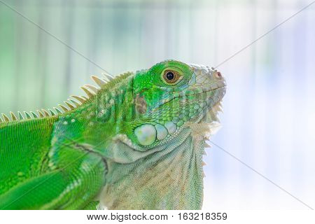 Close-up of the Green Iguana in the cage