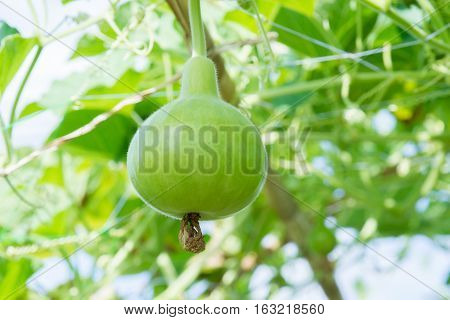 Tree of gourd and bottle gourd.(Lagenaria siceraia (Molina) Standley.)