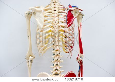 Human skeleton model for physiology in laboratory
