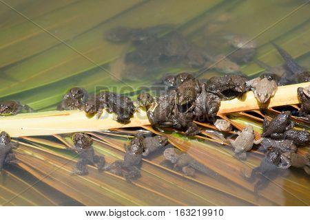 The Little bullfrog in the nursery pond