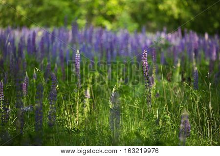 lupines in green grass beautiful blue flowers flowers in the meadow
