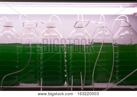 Spirulina culture in the plastic bottle in the room
