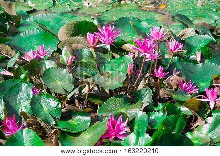 Beautiful Purple Water Lilies Floating on a Lake