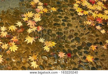Colorful maple leaves drop in the  canal.