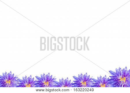 Lotus flower blossom isolate on white background