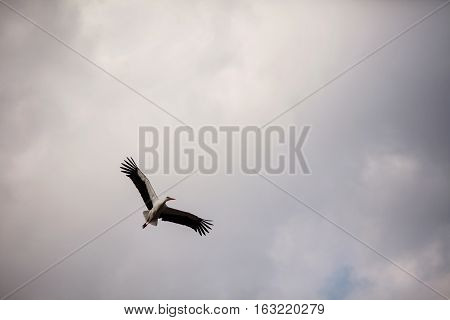 Stork flying in the sky, a large bird with black wings