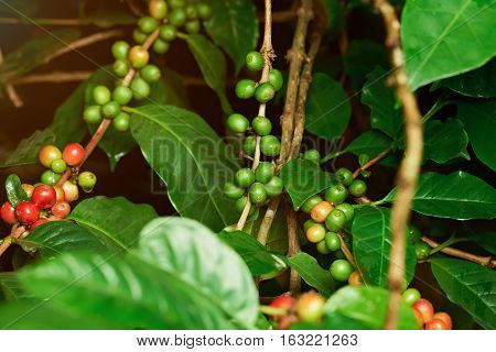 Unpicked red and green  coffee raw beans on farm tree