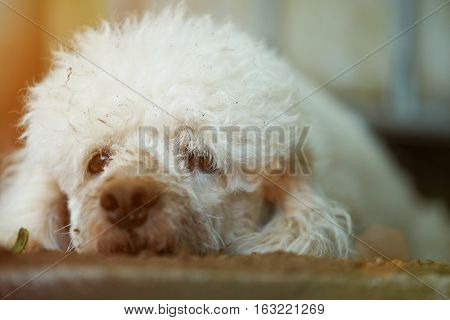 Close up portrait of lost white poodle dirty dog