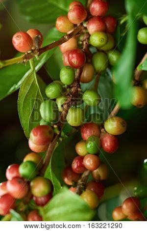 Macro of red and green coffee beans on plantation tree