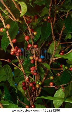 Red and green raw coffee beans on farmer plantation  tree