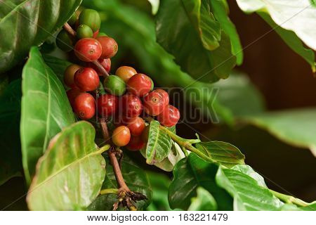 Damaged coffee tree plant beans close up in farm