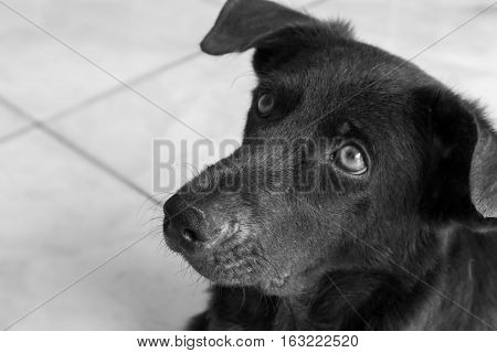 Closeup face of dog looking for something black and white color tone