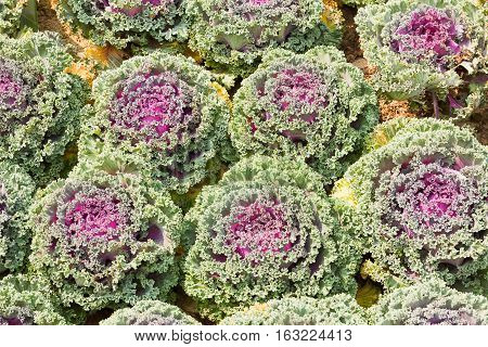 Fresh Cabbage (brassica Oleracea) Plant Leaves