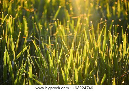 Close-up of green leaf with morning sunshine. Paddy field background,