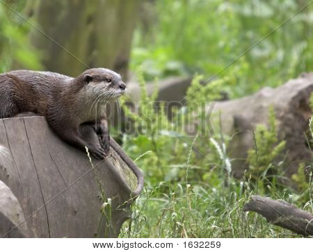 Otter In Natural Habitat