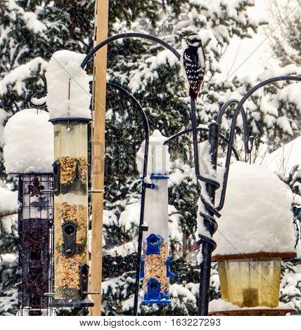Hairy Woodpecker feeding on Canadian garden winter birdfeeders
