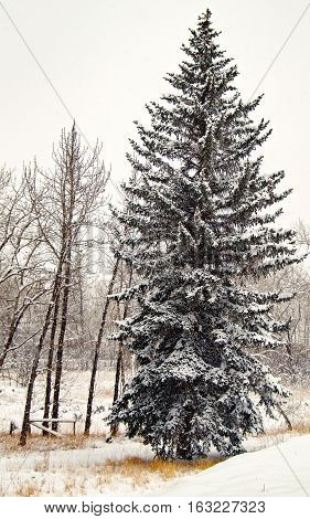 Lonely spruce tree during heavy snowfall on farmland in the Canadian Rockies foothills