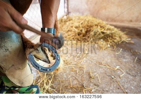 The Farrier Works On The Hoof Of A Percheron Draft Horse.