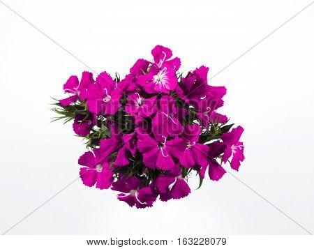 Many beautiful pink flowers on white background.