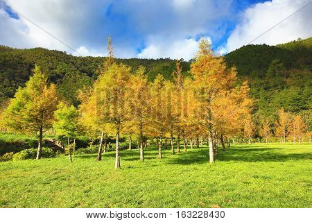 Bald cypress trees,many beautiful colorful trees growing on the field in autumn