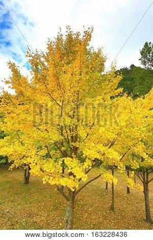 Beautiful scenery of yellow Ginkgo trees in autumn,Maidenhair trees