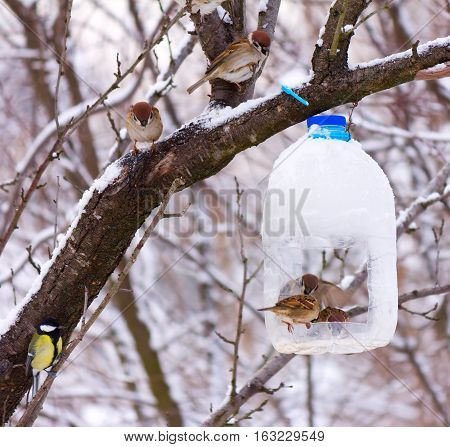 hungry birds sparrows feed on the feeder is made from a plastic bottle early winter frosty morning