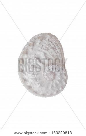 Soft White Abalone shell with fibonacci  spiral pattern on isolated background