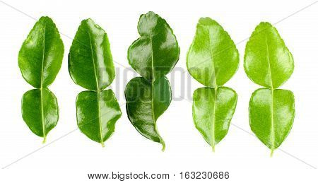 Arrangement of Five Fresh Crunchy Kaffir Lime Leafs In a Row isolated on White background