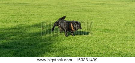 Black dog peeing in the park .
