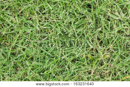 Green grass texture. Field grass background .