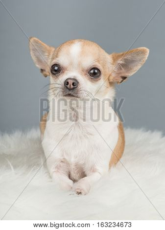 Cute brown and white chihuahua dog lying down on a grey background and a white rug