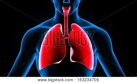 3d illustration human body lungs. human body part.
