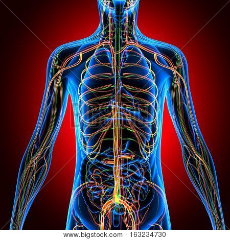 3D illustration human body Nervous System. human body system.
