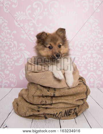Cute shetland sheepdog puppy dog in a bag in a pink living room setting