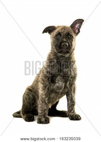 Cute wirehaired dutch shepherd puppy sitting on a white background looking up with one ear up