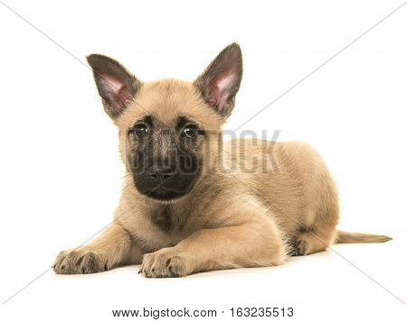 Cute blond dutch shepherd puppy lying down on the floor isolated on a white background facing the camera with both ears up