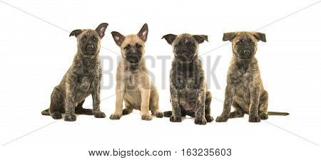 Litter of four dutch shepherd puppy dogs sitting and facing the camera isolated on a white background