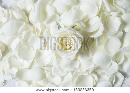 Fresh White Rose Flower On White Rose Petales
