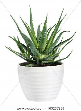 Isolated Aloe Vera Plant On White Pot
