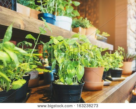 Holy Basil Herb Plant pots on wooden shelf Vegetable Home garden
