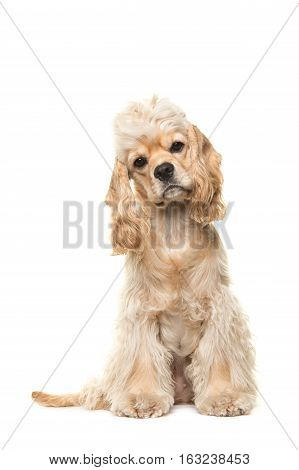 Cute blond cocker spaniel dog sitting facing the camera seen from the front isolated on a white background