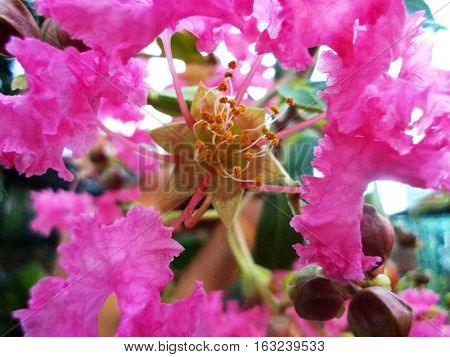 the blooming pinkish flower called sakura from indonesia