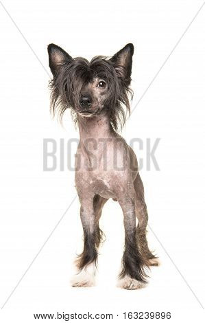 Cute dark naked chinese crested dog standing and facing the camera isolated on a white background
