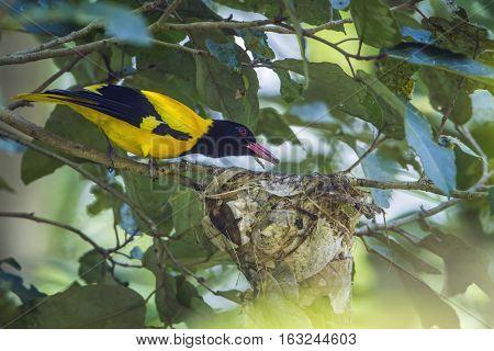 Black-hooded oriole in Minneriya national park, Sri Lanka ; specie Oriolus xanthornus family of Oriolidae