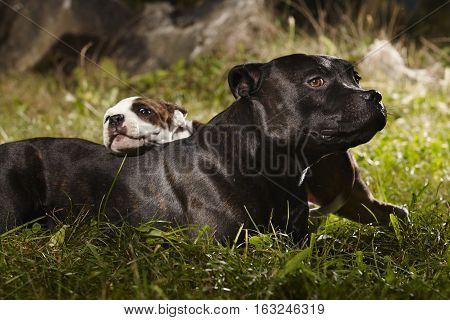 Adult Staffordshire bull terrier dog with little friend