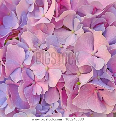 vibrant pink hortensia flower closeup natural background