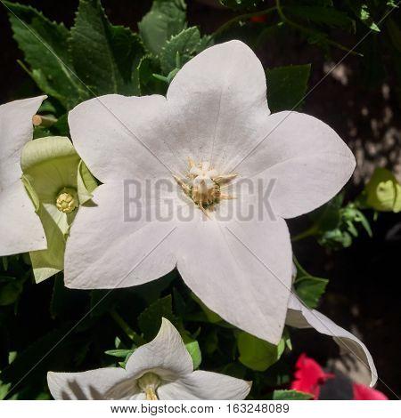 crisp white aster flower closeup in the garden